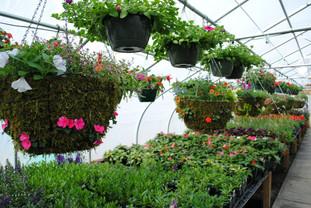 flowerbuds+hanging+baskets+greenhouse.jp