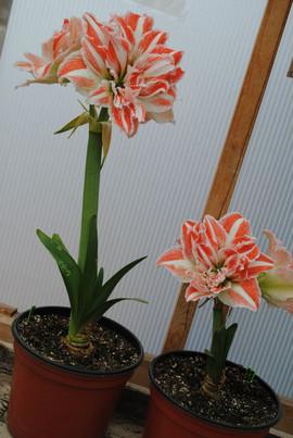 flowerbuds+orange+and+white+flower.jpg