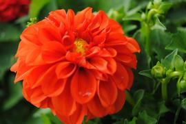 flowerbuds+orange+flower.jpg