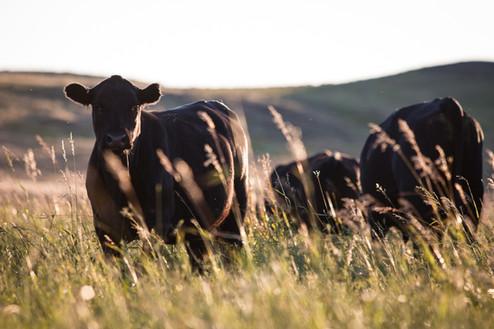 C Lazy J Livestock, Inc. | Malta, MT