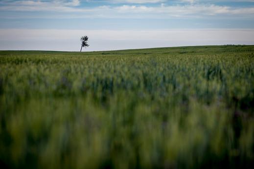 Barley fields | Saco, MT