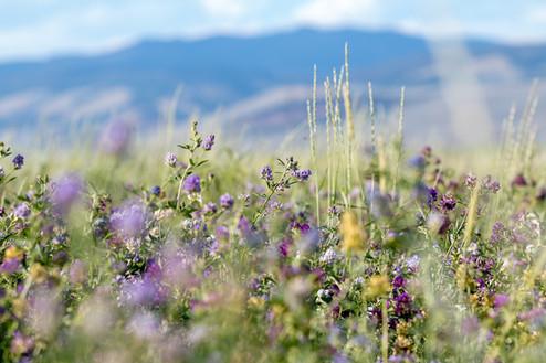 Summer hay fields | White Sulphur Springs, MT