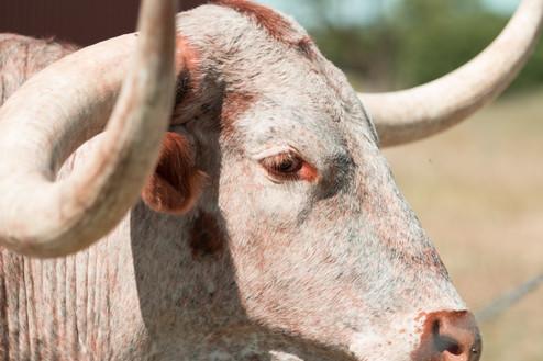 Tina Whitfield's longhorns | Throckmorton, TX