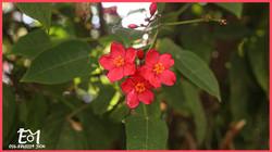 פרח הרימון מסגרת ורודה + לוגו (Medium)