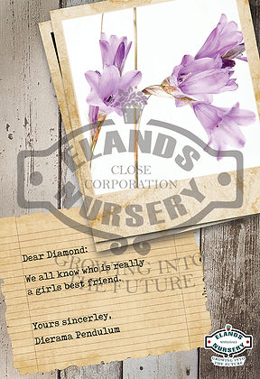 POS, poster, correx, board, branding, signage, display, information, happiness, buy, sale,dierama, purple, fairy bells, diamond