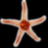 Starfish_real2.png