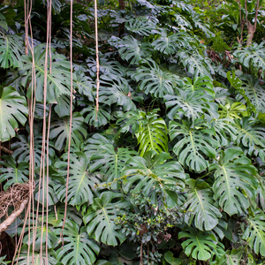 Monstera plants growing native in the rainforest