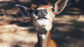 Doe, a Deer, a Female Deer...