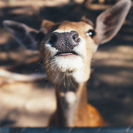 The Diary Entry of a Common Deer