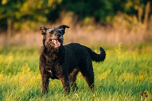 small-size-black-dog-in-summer-sunset-su