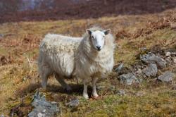 Scotland sheep Apr 2016-1