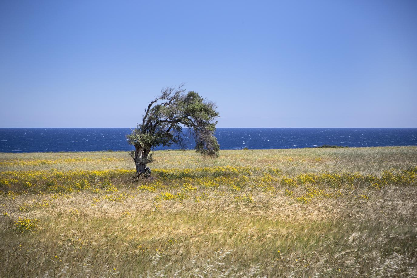 Tree Cyprus-1