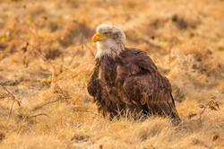 Bald eagle-1