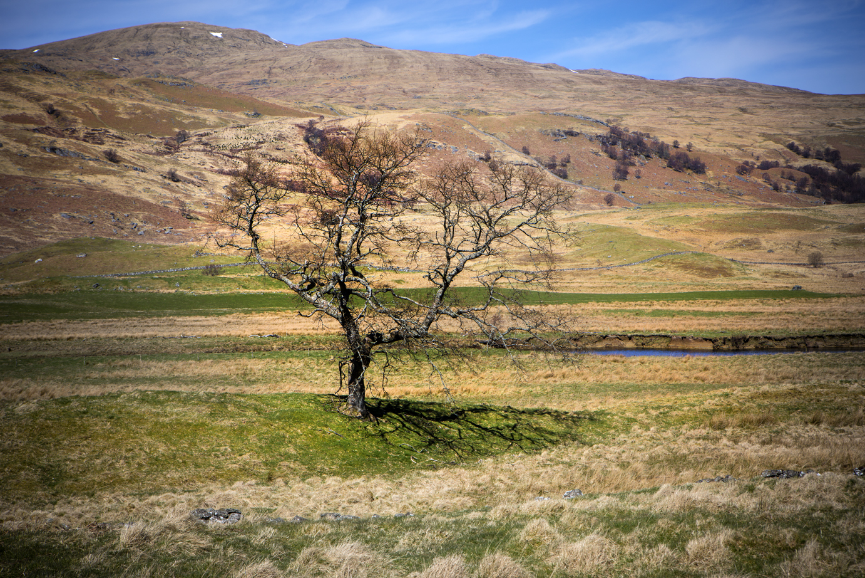 Single tree Scotland Apr 2016-3