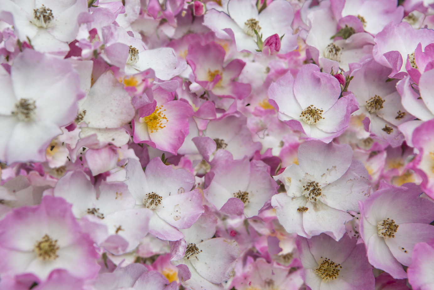Small pink flowers-3.jpg