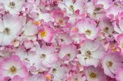 Small pink flowers-3.jpg