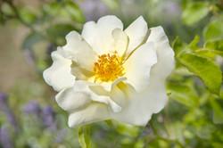 White Flower-1.jpg