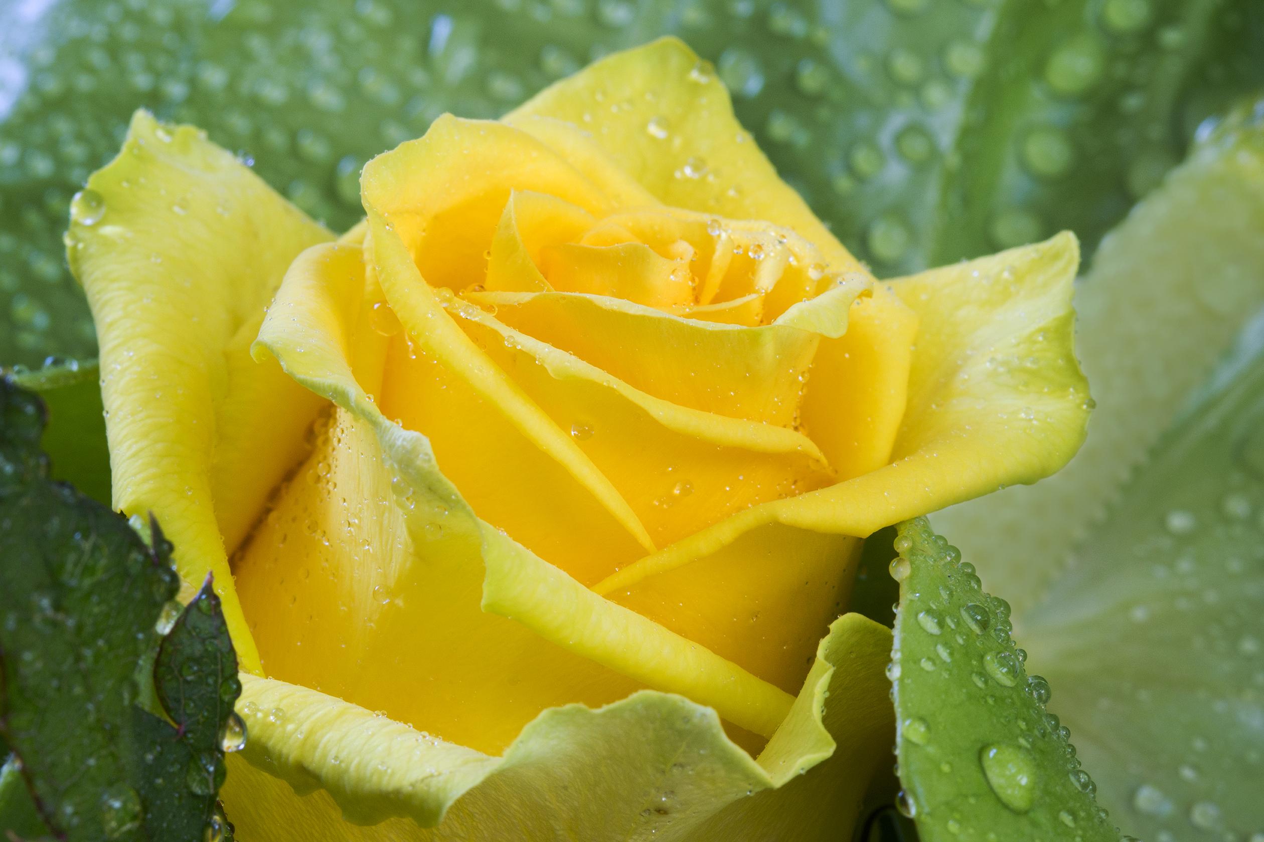 yellow rose-1b