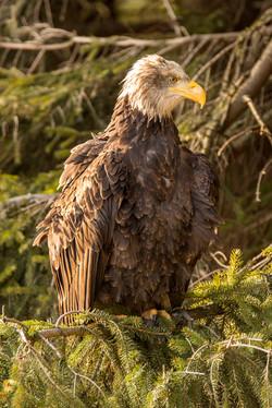 Bald Eagle-2a