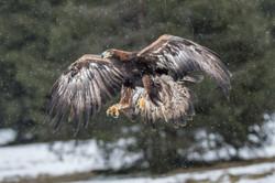 Golden Eagle-1