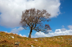 Single tree Scotland Apr 2016-1