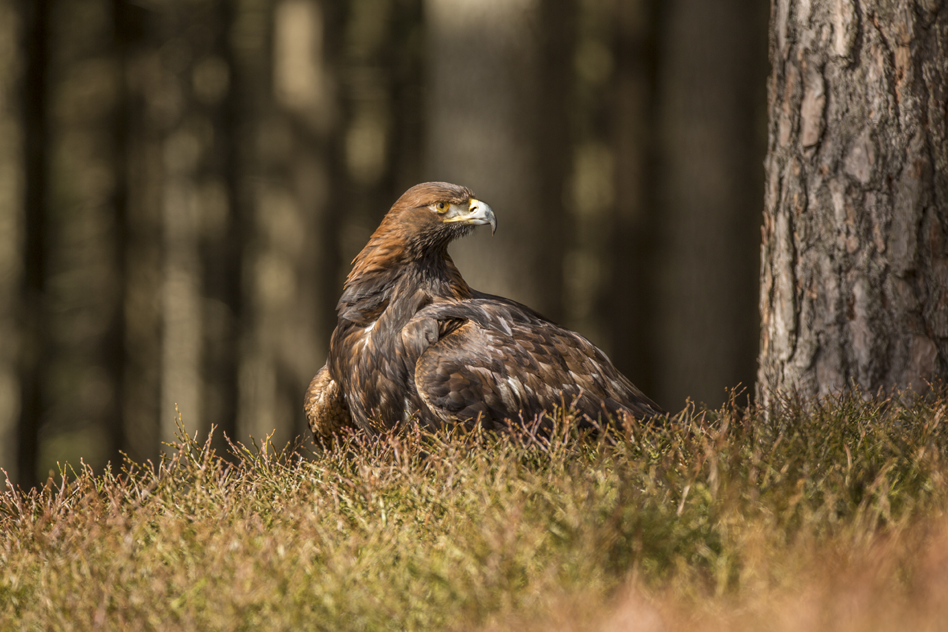 Golden Eagle-6