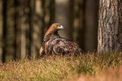Golden Eagle-6