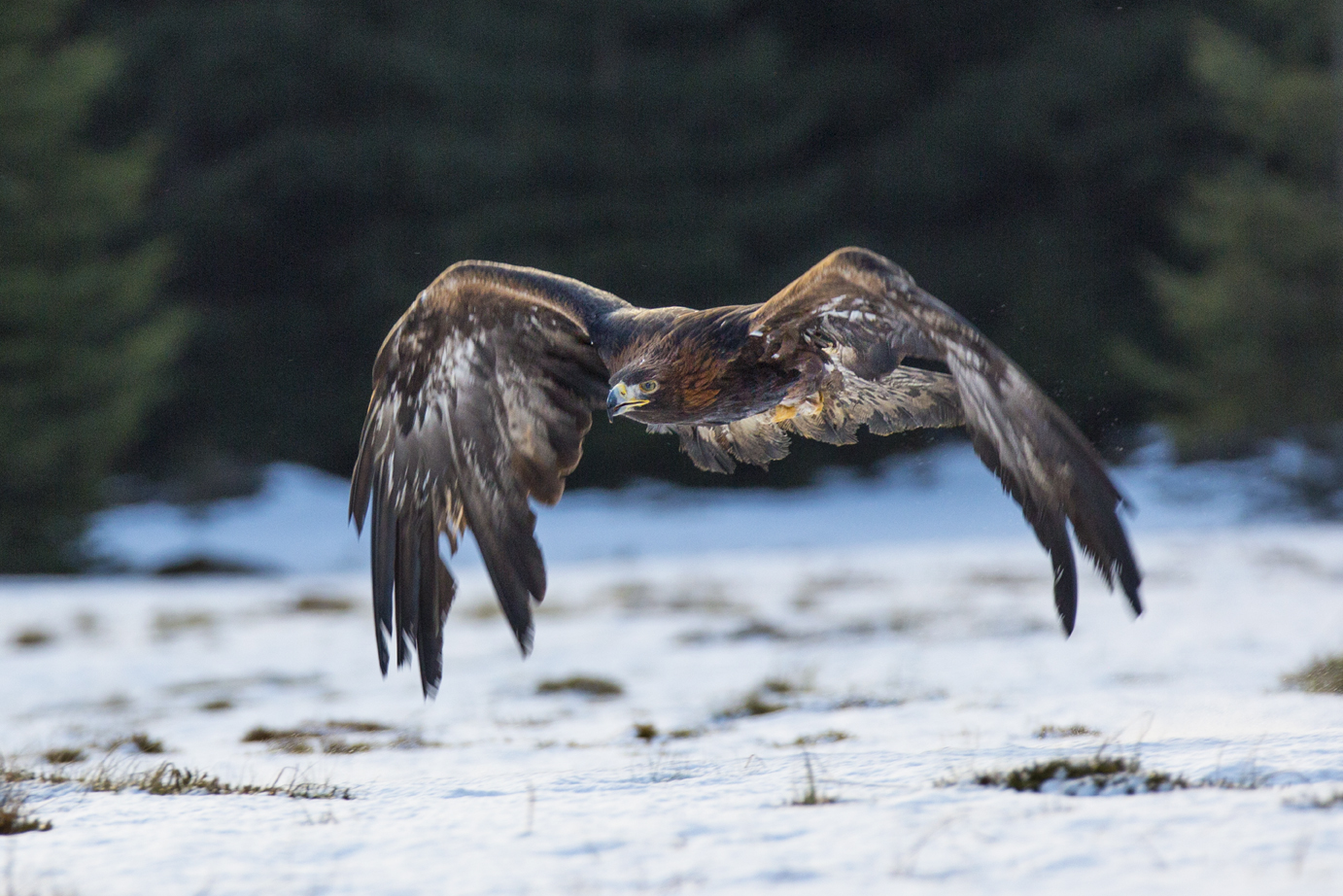 Golden Eagle-3
