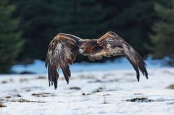 Golden Eagle-3