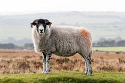 Sheep-1