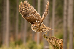 Tawny Owl-2