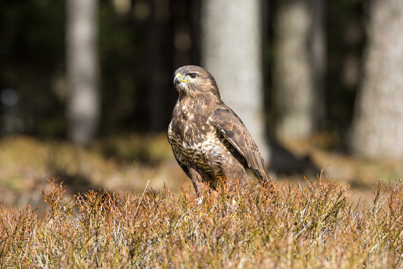 Common Buzzard-1