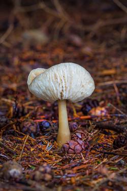 Mushroom-30a