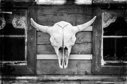 Buffalo Skull-1c