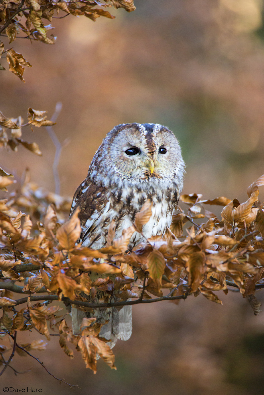 Little Owl-1