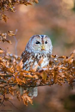 Little Owl-1