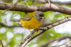 Bird Paragonia-1a
