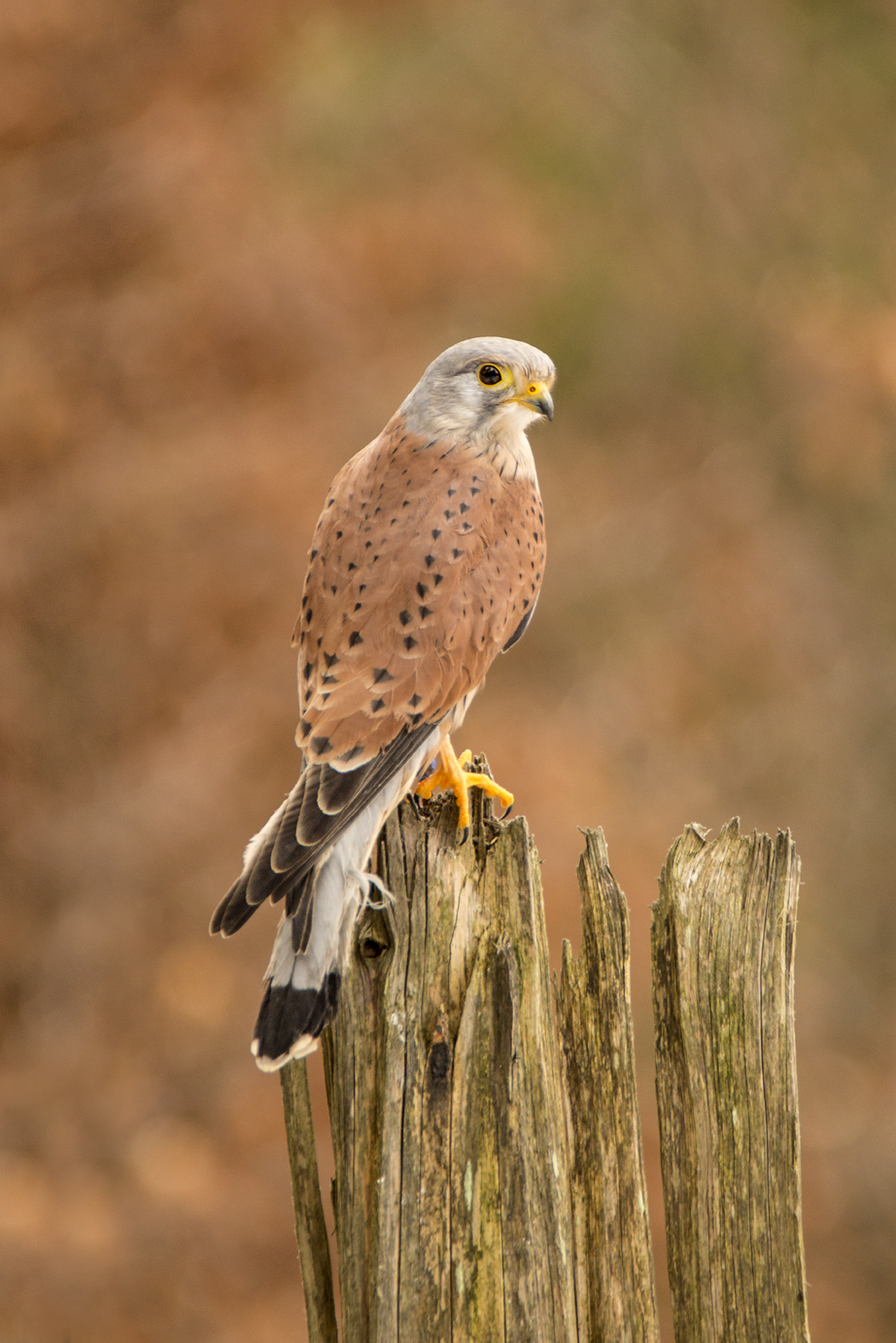 Common Kestrel-1a