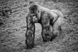 Gorilla June 2014-2b