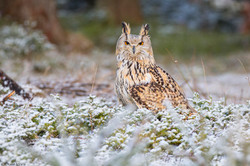 Western Siberian Owl-8
