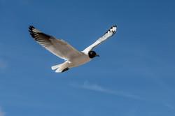 Andean Gull-1a