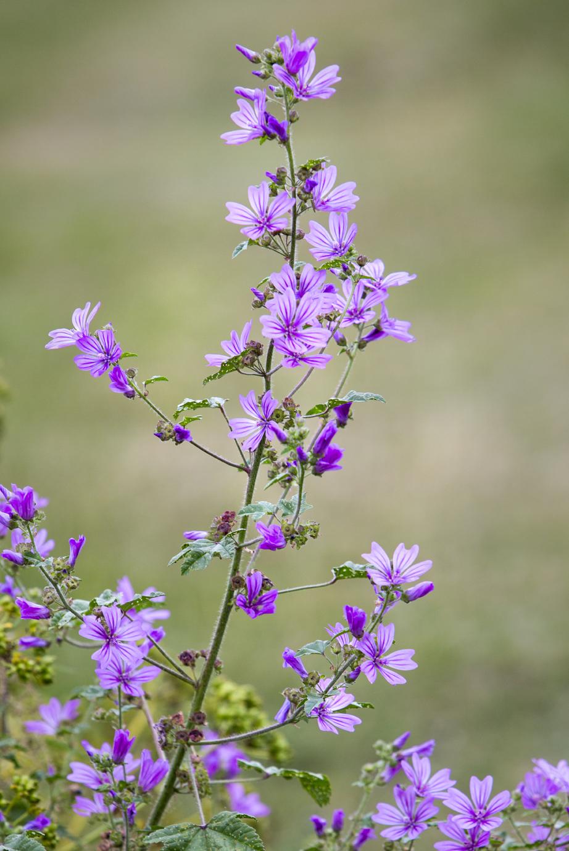 Purple flowers July 2015-1.jpg