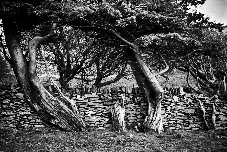 Old Trees-1c