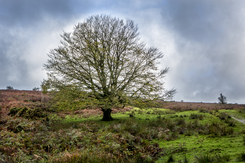 Tree Devon-1