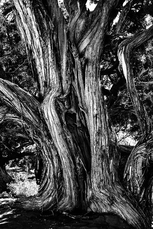 Old tree-1d
