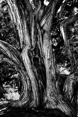 Old tree-1d