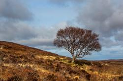Single tree Scotland May 2016-8a