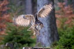 Eagle Owl-2