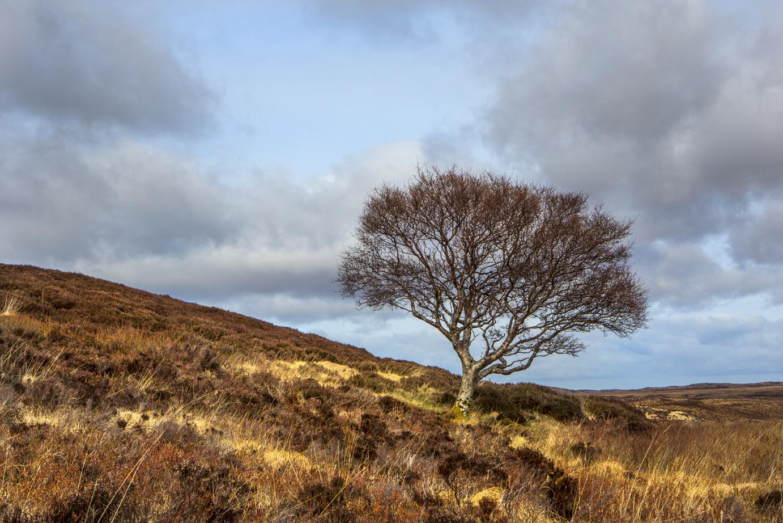 Single tree Scotland April 2016-8a