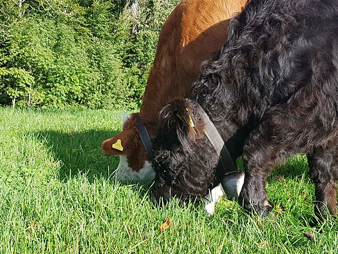 Galloway Simmental  Rinder